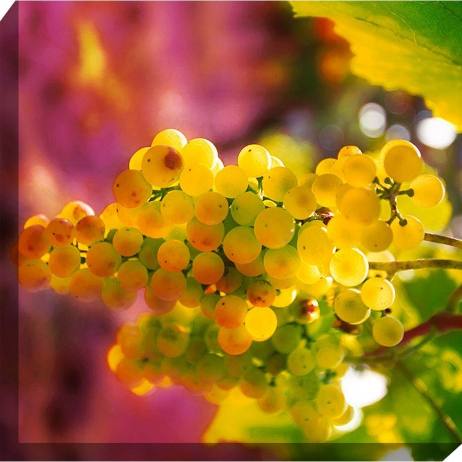West of the Wind Outdoor Canvas Wall Art - Croatian Grapes