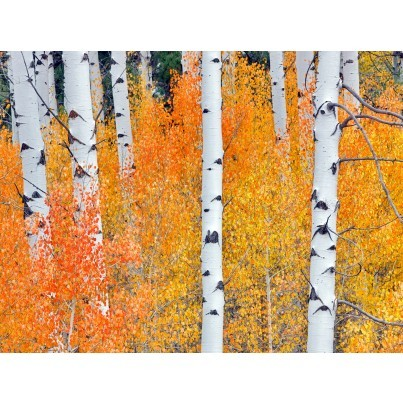West of the Wind Outdoor Canvas Wall Art - Fall Aspen Tree #2  by West of the Wind