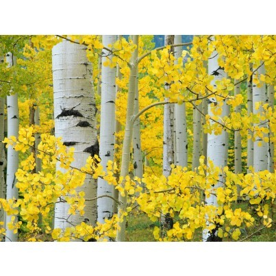 West of the Wind Outdoor Canvas Wall Art - Aspen Trees  by West of the Wind