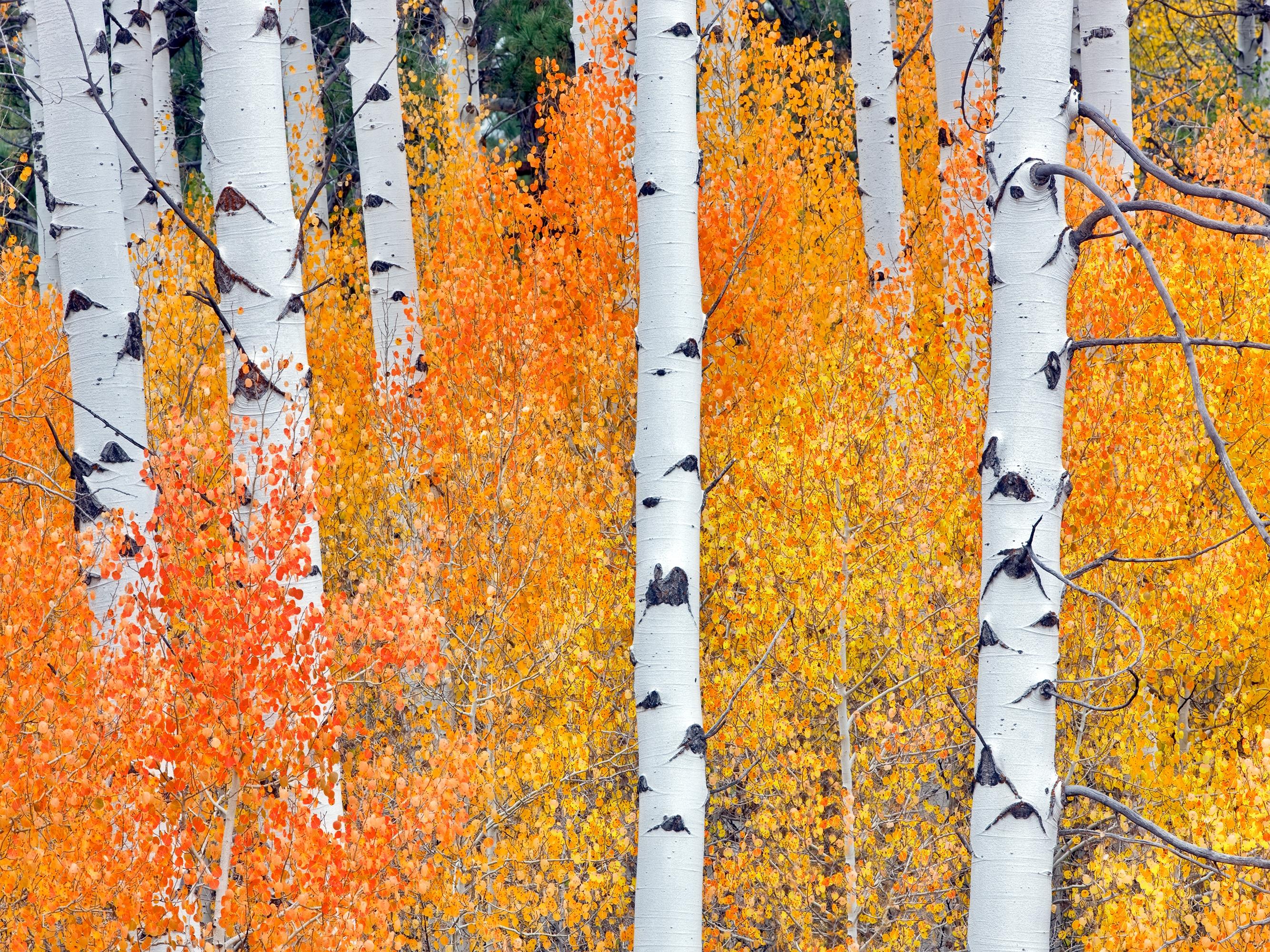 Canvas Wall Art Fall Aspen Tree Product Photo