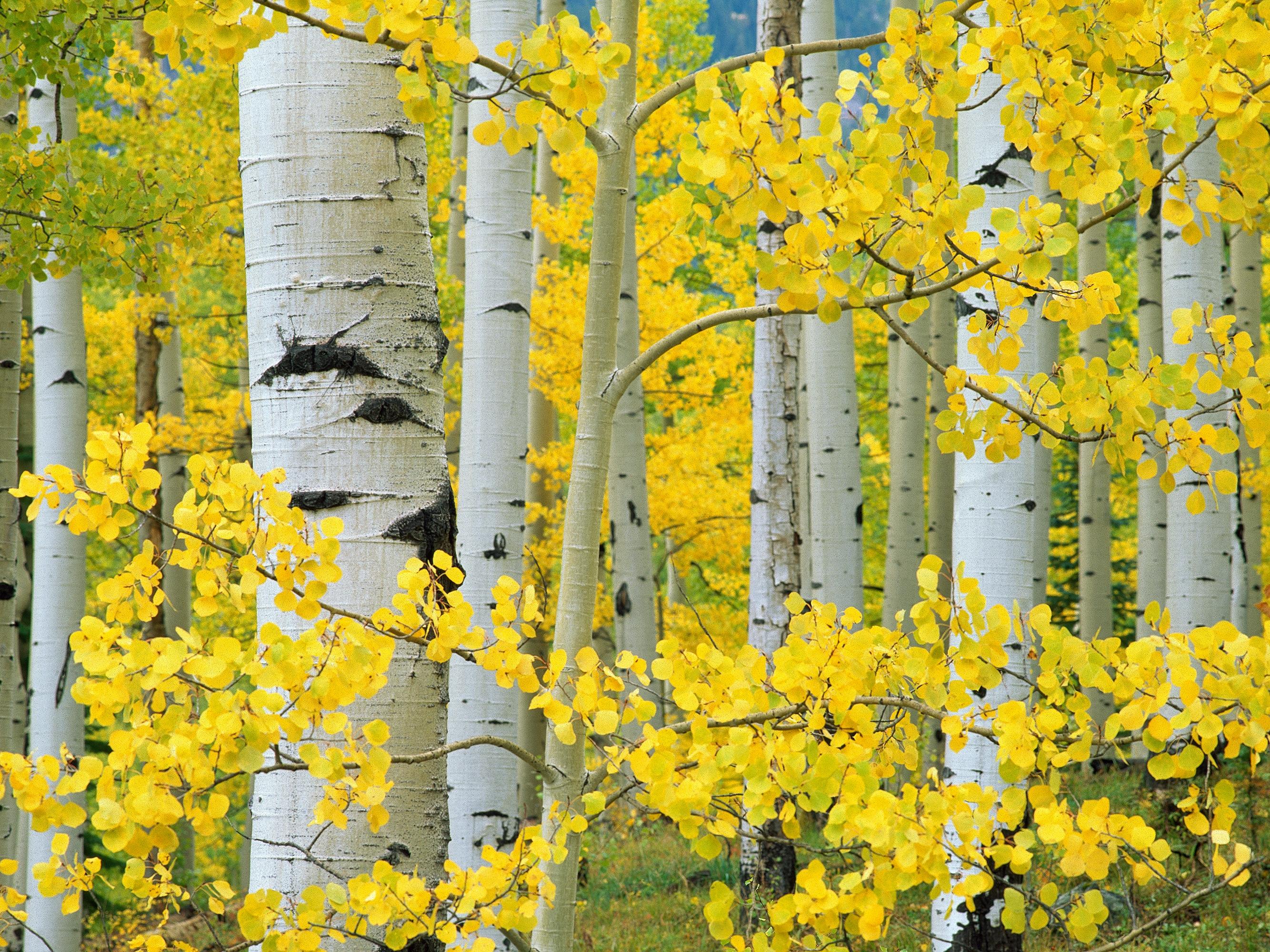 Canvas Wall Art Aspen Trees Product Photo